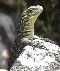 Spiny Whorltail Iguana
